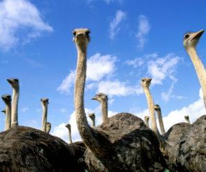 Разведение страусов в домашних условиях: советы начинающим фермерам