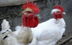 Голошейная порода кур