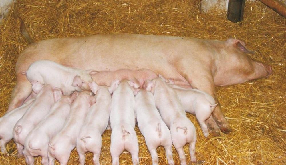 Поросята Ландрас со свинкой