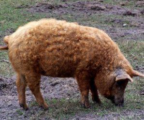 Порода свиней шерстяная венгерская мангалица: особенности и характеристика, содержание, уход