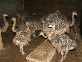 Кормление птенцов страусов