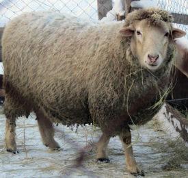 Овца куйбышевской породы