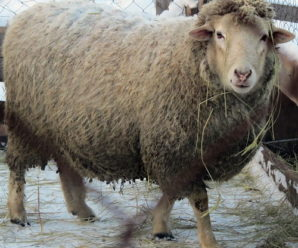 Английские традиции в российских реалиях: куйбышевская порода овец