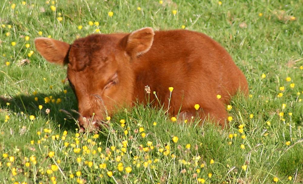 Теленок на траве