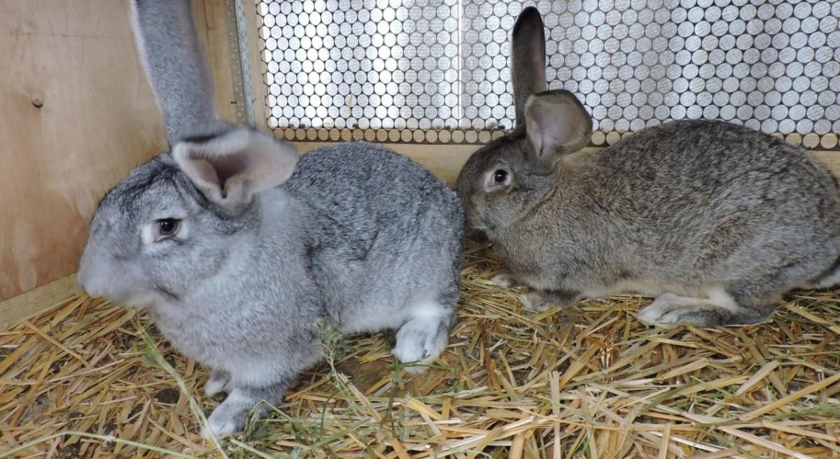 Как кастрировать кролика