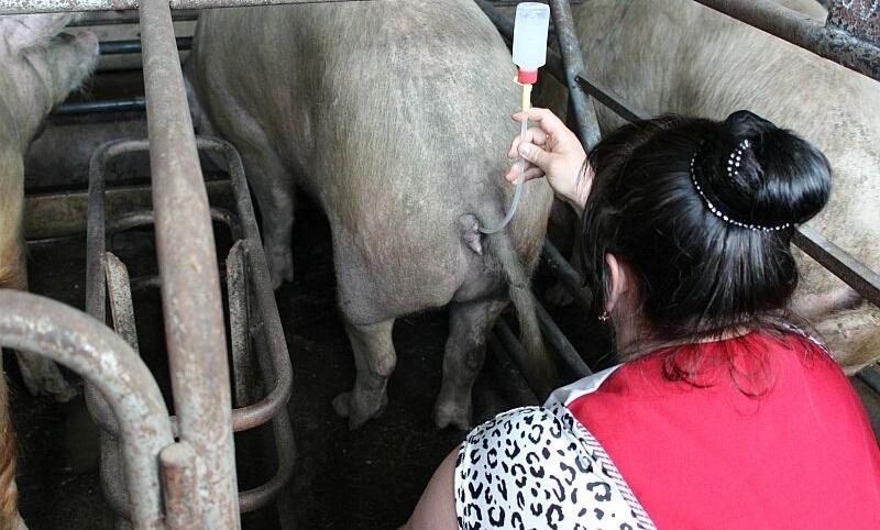 Виды искусственного осеменения свиней