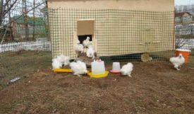 Цыплята на прогулке