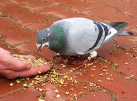 Голубь ест зерно