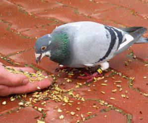Что едят голуби в природе, и чем их кормить при содержании в домашних условиях