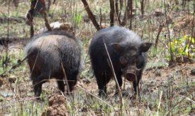 Сколько живут дикие свиньи