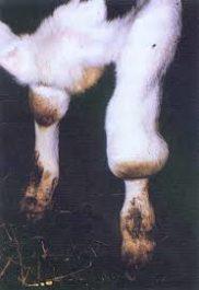 Проявление бруцеллеза у коровы