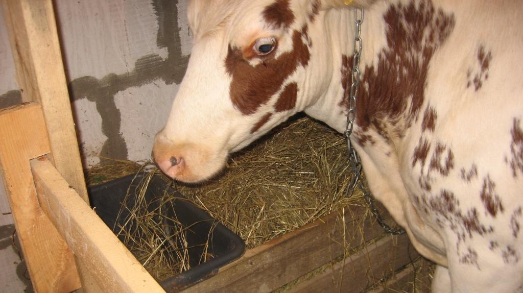 Корова ест сено