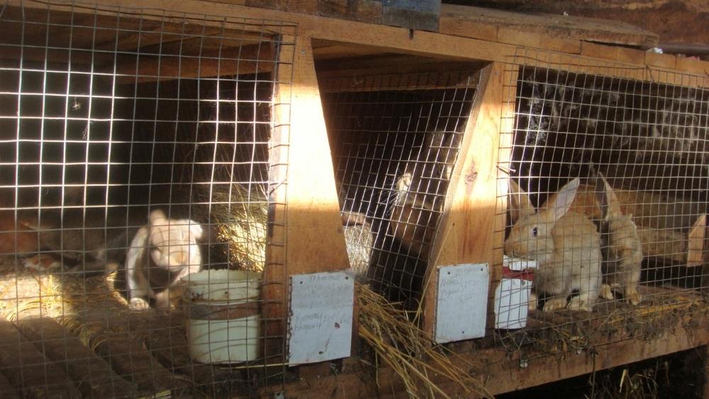 Как передается эймериоз кроликов