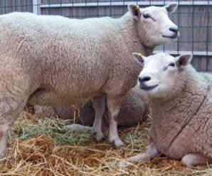 Что такое брадзот овец и чем он опасен: диагностика и лечение заболевания