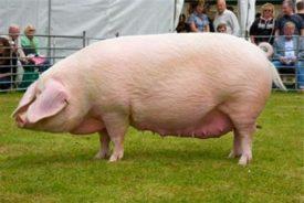 Брейтовская свинка