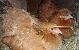 Курицы в гнезде