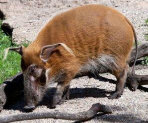 Сколько лет живут свиньи в естественных условиях, в зоопарках и фермерских хозяйствах