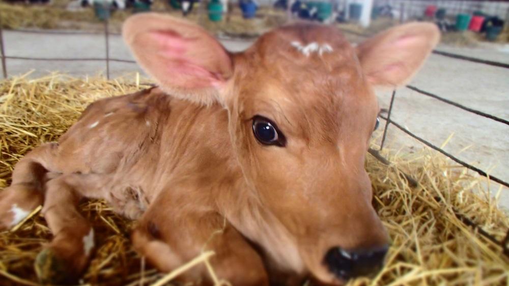 Лечение теленка от поноса в домашних условиях