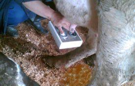 Серозный мастит у коров