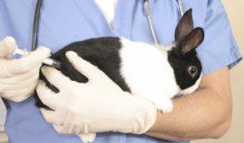 Прививка для кроликов от миксоматоза