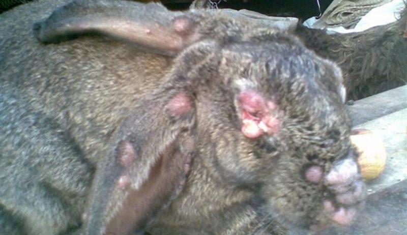 Лечение миксоматоза у кроликов в домашних условиях 233