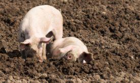 Свиньи в земле
