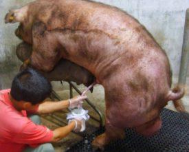Забор спермы у свиней
