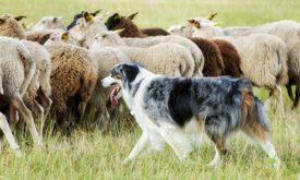 Овцы и собака