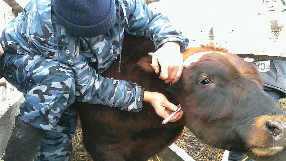 Забор крови у коровы