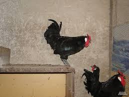 Разведение куриц Ла Флеш