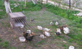 Подрощенные цыплята в выгуле