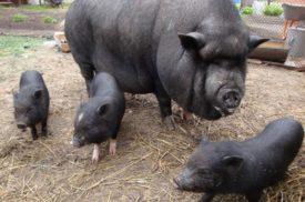 Продолжительность жизни Вьетнамских вислобрюхих свиней