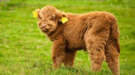Плюшевая порода коров