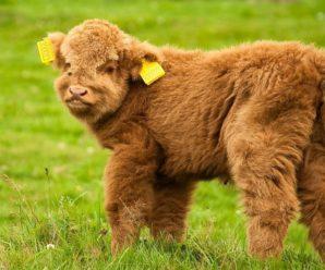 Плюшевая корова – живая игрушка из штата Айова