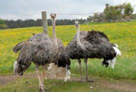 Семья здоровых страусов