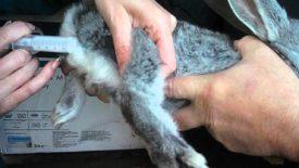 Вакцинация кроликов от ВГБК