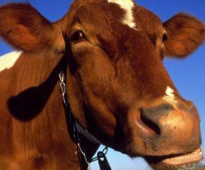 Количество желудков у коровы, разбираем пищеварительную систему