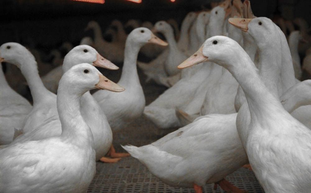 Московские белые утки