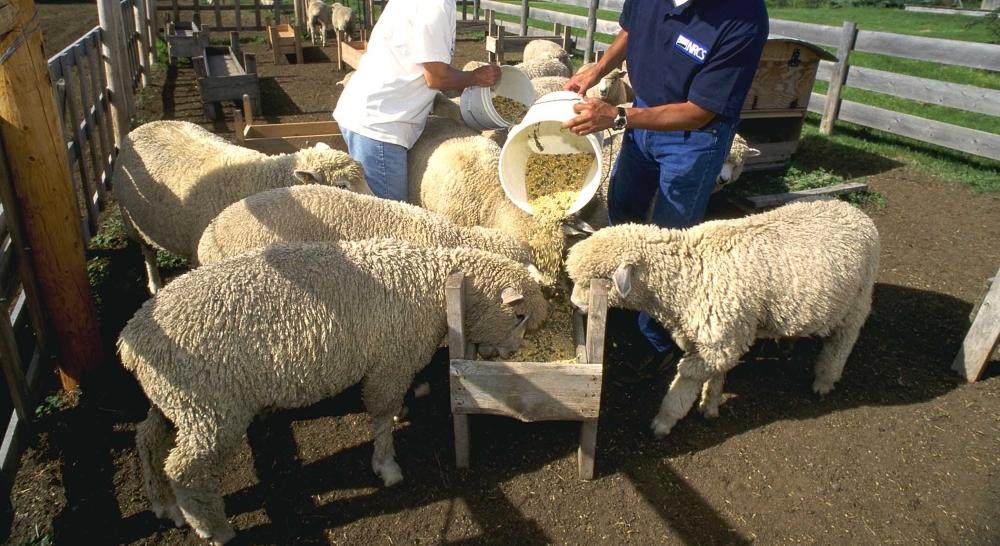 Овцы на мясо в домашних условиях 721