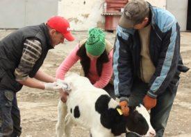 Лечение теленка с гастроэнтеритом