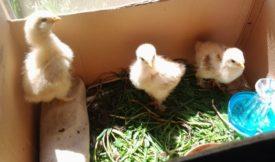 Цыплята кушают зелень