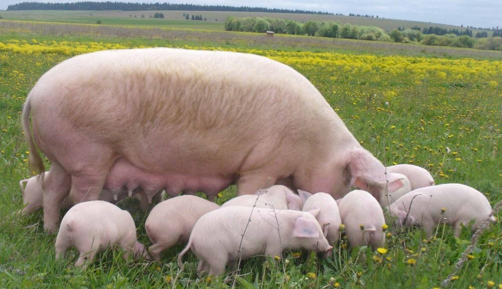 Сколько живут Белые крупные свиньи