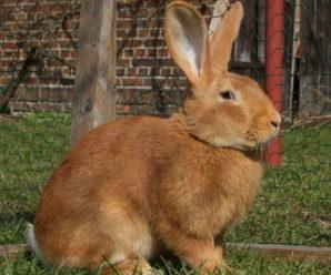Кролик бургундской породы: описание, разведение и особенности содержания