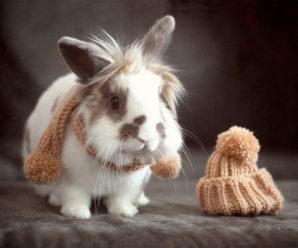 Львиноголовый кролик: характеристика, особенности содержания и отзывы заводчиков