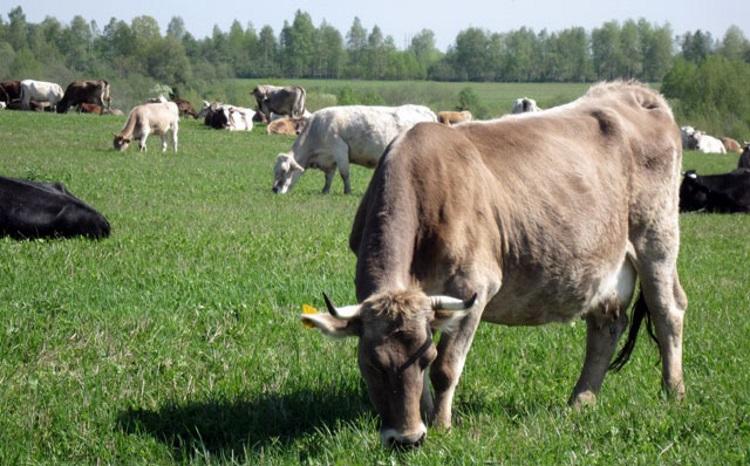 Продуктивность костромских коров