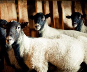 Овчарня для овец своими руками: как правильно и быстро возвести постройку