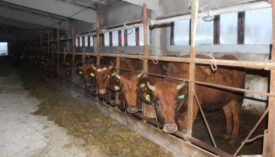 Красные степные коровы в стойлах