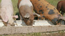 Свиньи едят из корыта