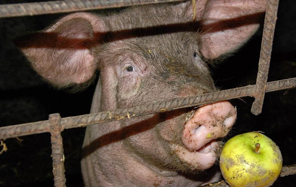 Свинья ест яблоко