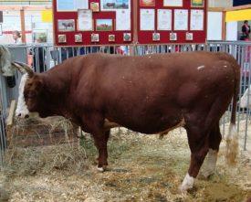 Кормление калмыцких коров